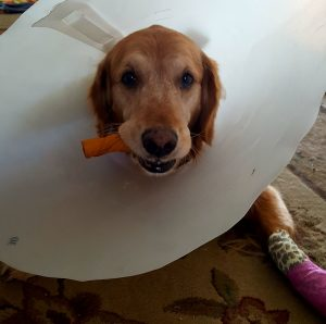 Golden Retriever in the cone of shame
