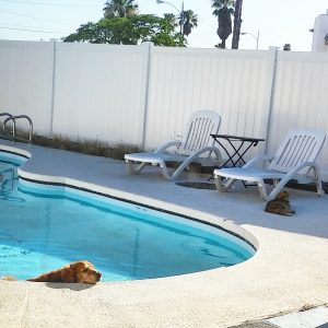Golden Retriever and orange tabby hanging out at the pool